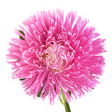 Aster flower head Royalty Free Stock Image