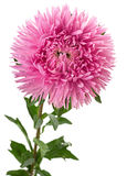Aster flower head Royalty Free Stock Photos