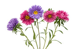 Aster Flower Isolated Royalty Free Stock Image
