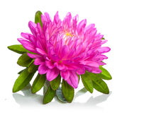Aster flower. Isolated on white background Stock Photography