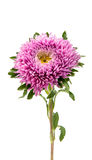 Aster flower isolated. On white background Royalty Free Stock Image