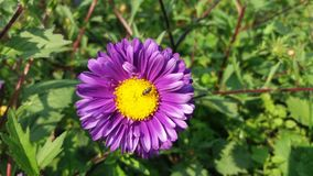 Purple Aster flower with little bee stock photos