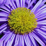 Aster flower macro Stock Photography
