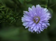 Aster flower.is macro. Royalty Free Stock Images