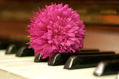 Aster flower on the piano Royalty Free Stock Image