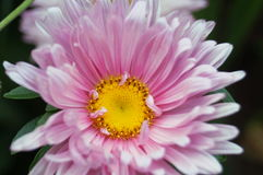 Aster flower with pink petals and yellow center. Close-up Stock Photography