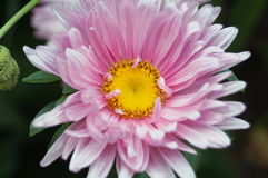 Aster flower with pink petals and yellow center. Close-up Royalty Free Stock Photo