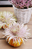 Aster flower in pumpkin Royalty Free Stock Images