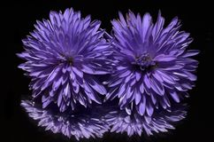 Aster, Flower, Purple Royalty Free Stock Images