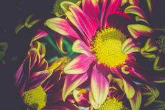 Aster Flower Retro Stock Photography