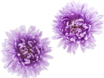 Aster flower Royalty Free Stock Photo