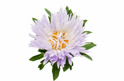 Aster flower Royalty Free Stock Photography