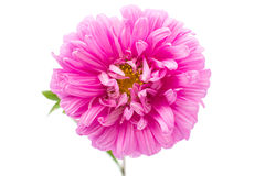 Aster flower Stock Images