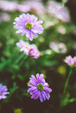 Aster on a flowerbed Royalty Free Stock Photo