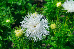 Aster flowerbed in summer, focus on  white flower Royalty Free Stock Photography