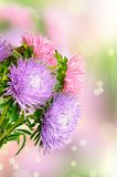 Aster flowers Stock Photography