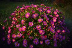 Aster flowers. Garden violet pink Stock Image