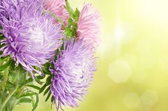 Aster flowers. Autumn aster flowers bouquet on the colorful golden bokeh background Royalty Free Stock Photos