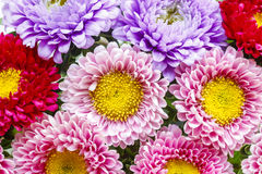 Aster flowers. Autumn festive and party decoration Stock Images
