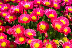 Aster flowers background Stock Images