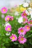 Aster flowers background Royalty Free Stock Images