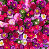 Aster flowers background Stock Photo