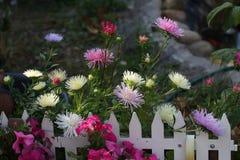Aster. Flowers / Aster - beautiful garden flowers Stock Photo