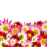 Aster flowers border Royalty Free Stock Photography