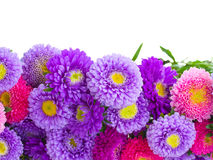 Aster flowers border Royalty Free Stock Photos