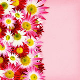Aster flowers border Stock Image