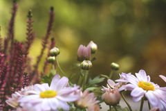 Aster flowers and buds Stock Photography