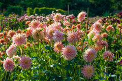 Aster flowers. Buga Munchen. Aster flowers in park Stock Photos
