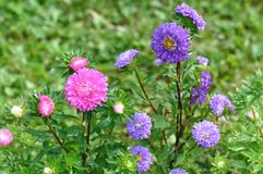Aster Flowers - Callistephus Chinensis royalty free stock images