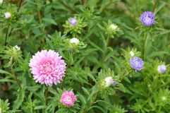 Aster Flowers - Callistephus Chinensis stock images