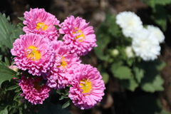 Aster Flowers - Callistephus Chinensis. In the garden Royalty Free Stock Photos