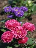 Aster Flowers - Callistephus Chinensis. In the garden Stock Image