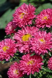 Aster Flowers - Callistephus Chinensis. In the garden Stock Images