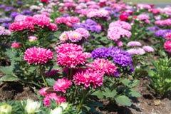 Aster Flowers - Callistephus Chinensis. In the garden Stock Photos