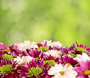 Aster flowers with chrysanthemum flowers Stock Photo