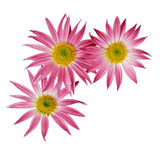 Aster flowers corner Royalty Free Stock Photography