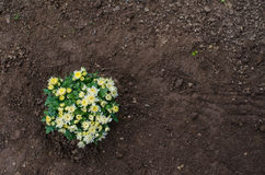 Aster flowers in dark soil. Freshly planted aster flowers in dark garden soil Royalty Free Stock Photo