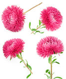 Aster flowers with drops water Stock Photo