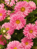 Aster flowers in a garden Royalty Free Stock Photos