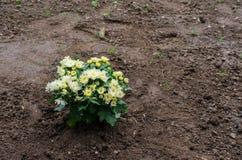 Aster flowers in garden soil. Aster flowers in fresh garden soil Royalty Free Stock Photos