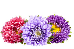 Aster flowers isolated on white background Stock Images