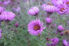 Aster Flowers Lavender - Asters bloom summer to fall Royalty Free Stock Image
