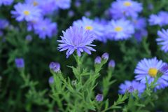 Aster Flowers Lavender - Asters bloom summer to fall Royalty Free Stock Photo