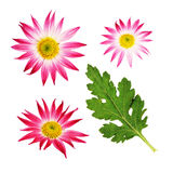 Aster flowers and a leaf Royalty Free Stock Image
