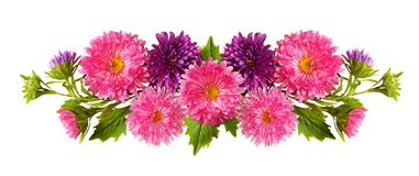 Aster flowers in line arrangement. Aster flowers in a line arrangement isolated on white. Flat lay. Top view stock photography