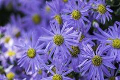 Aster flowers - Michaelmas daisy Royalty Free Stock Photos
